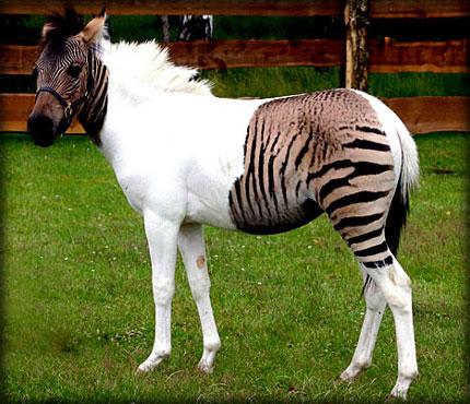 Zebra + Horse