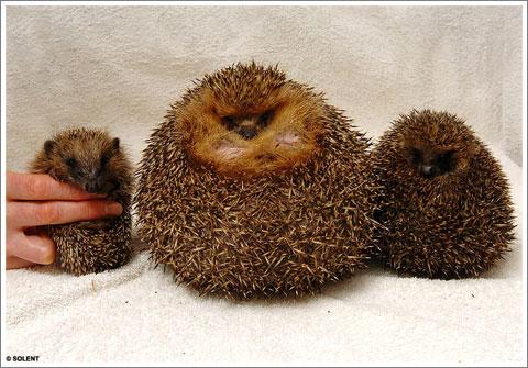fat hedgehog