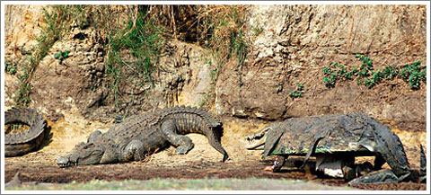 vs. Crocodile