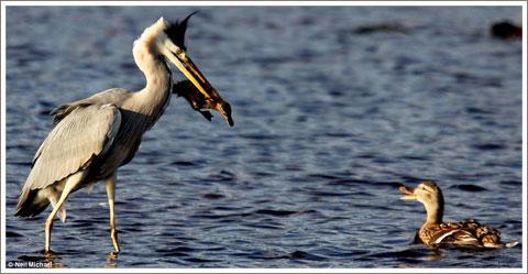 Duck vs Heron