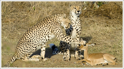 Cheetahs and Impala
