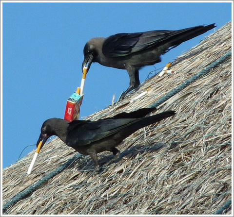 Crows with Cigarettes