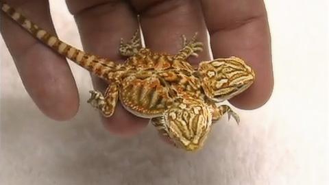 双頭6脚のドラゴン