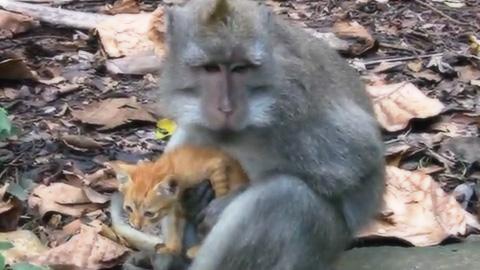 子ネコを抱きかかえている野生の猿
