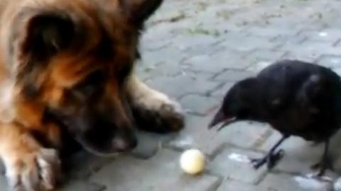 犬とカラスと人間で遊ぶ